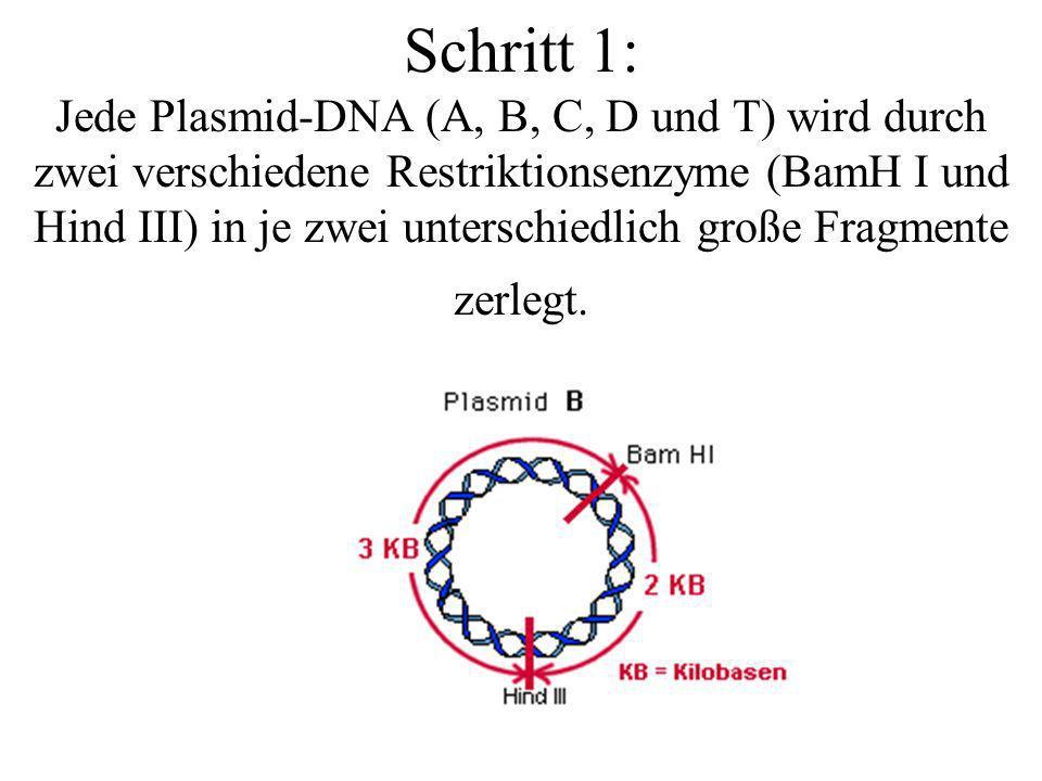 Schritt 1: Jede Plasmid-DNA (A, B, C, D und T) wird durch zwei verschiedene Restriktionsenzyme (BamH I und Hind III) in je zwei unterschiedlich große