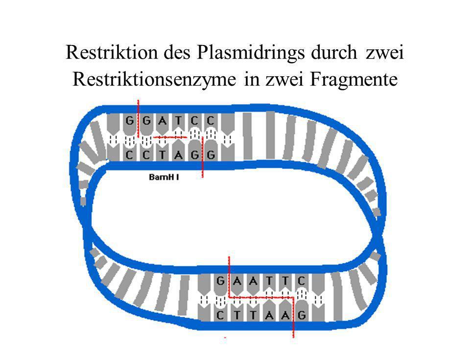 Restriktion des Plasmidrings durch zwei Restriktionsenzyme in zwei Fragmente
