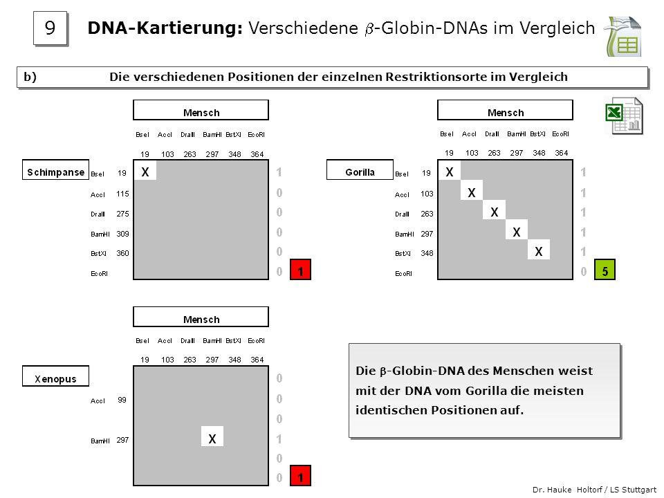 Dr. Hauke Holtorf / LS Stuttgart b) Die verschiedenen Positionen der einzelnen Restriktionsorte im Vergleich Die -Globin-DNA des Menschen weist mit de