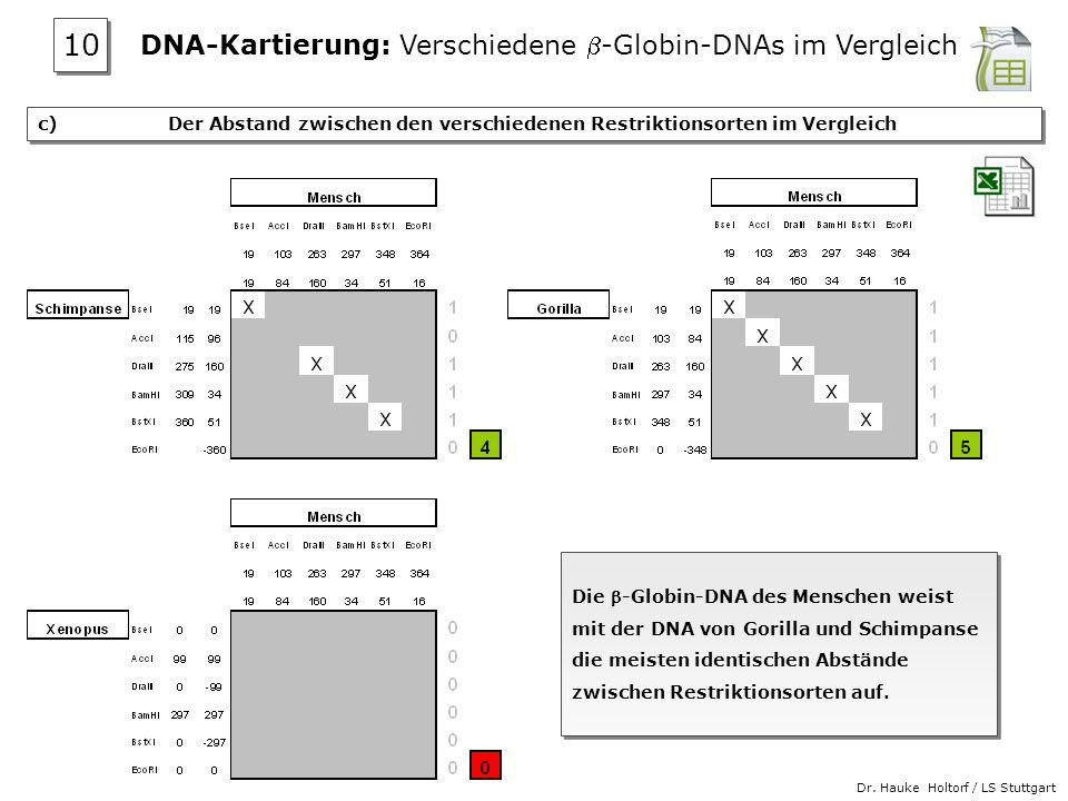 Dr. Hauke Holtorf / LS Stuttgart c) Der Abstand zwischen den verschiedenen Restriktionsorten im Vergleich Die -Globin-DNA des Menschen weist mit der D