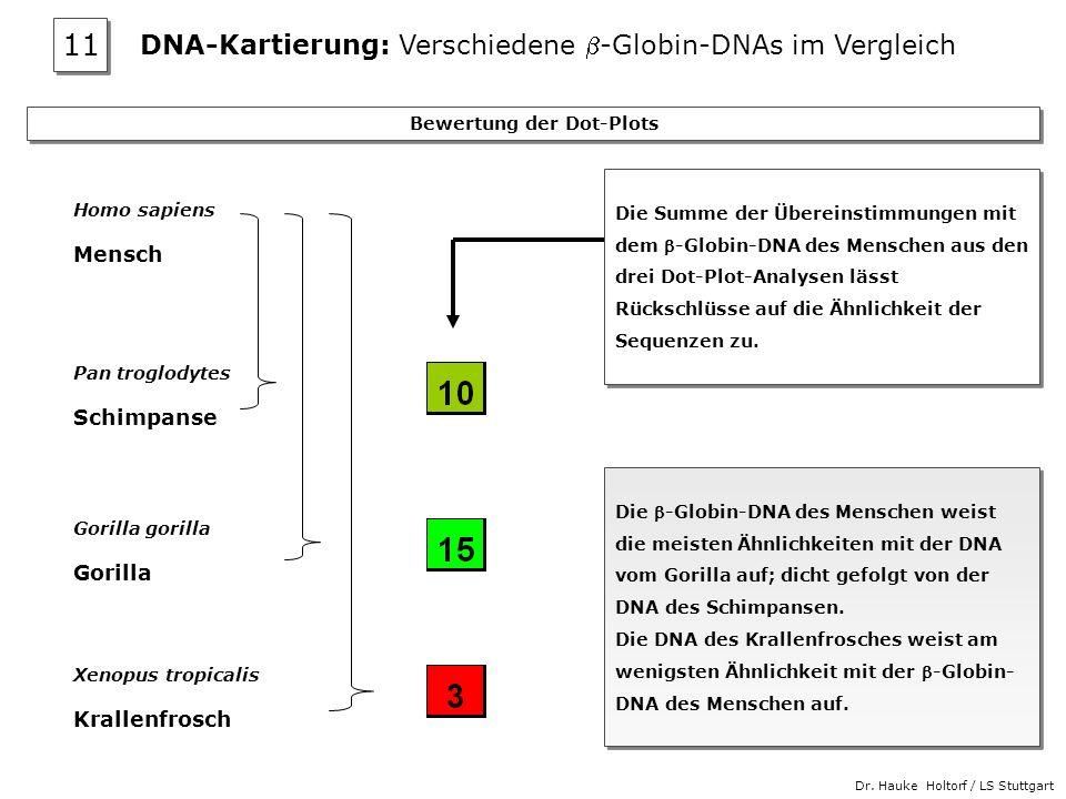 Dr. Hauke Holtorf / LS Stuttgart Bewertung der Dot-Plots Die -Globin-DNA des Menschen weist die meisten Ähnlichkeiten mit der DNA vom Gorilla auf; dic