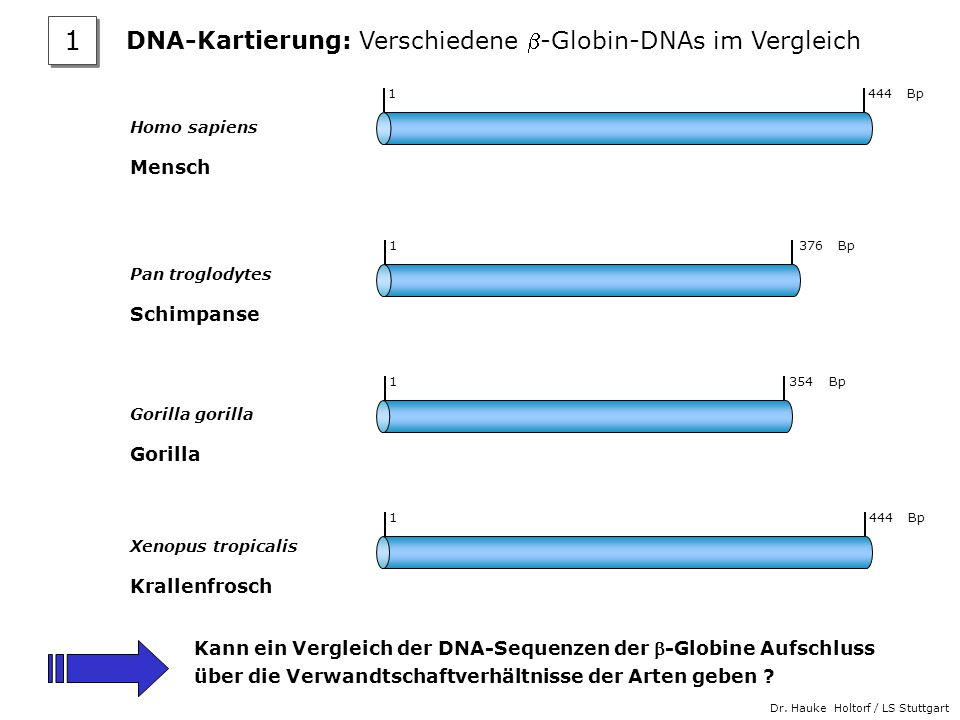 Dr. Hauke Holtorf / LS Stuttgart Homo sapiens Mensch Pan troglodytes Schimpanse Gorilla gorilla Gorilla Xenopus tropicalis Krallenfrosch 1 444 Bp 1 37
