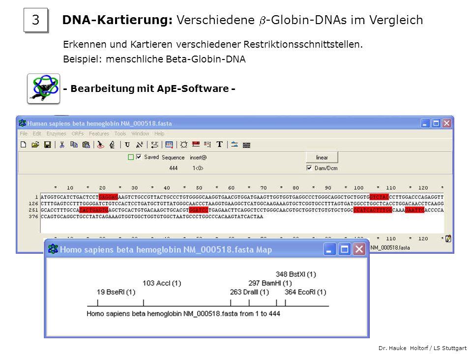 Dr. Hauke Holtorf / LS Stuttgart Erkennen und Kartieren verschiedener Restriktionsschnittstellen. Beispiel: menschliche Beta-Globin-DNA - Bearbeitung