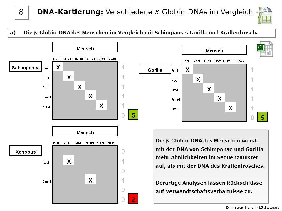 Dr. Hauke Holtorf / LS Stuttgart a) Die -Globin-DNA des Menschen im Vergleich mit Schimpanse, Gorilla und Krallenfrosch. Die -Globin-DNA des Menschen