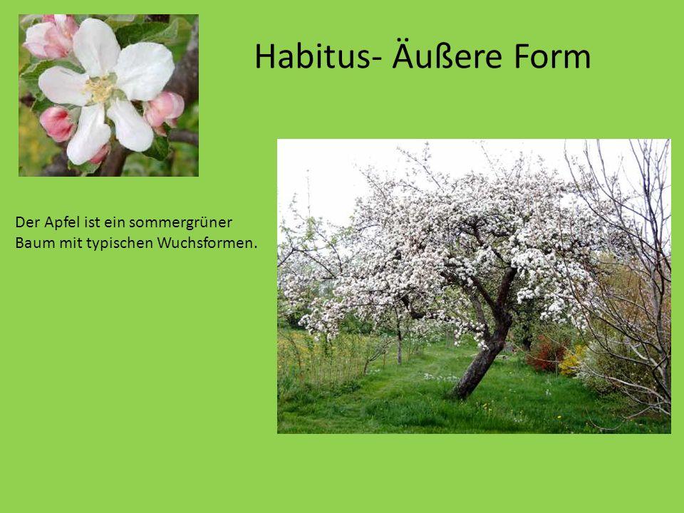 Habitus- Äußere Form Der Apfel ist ein sommergrüner Baum mit typischen Wuchsformen. Er wird nur etwa 10 Meter hoch.