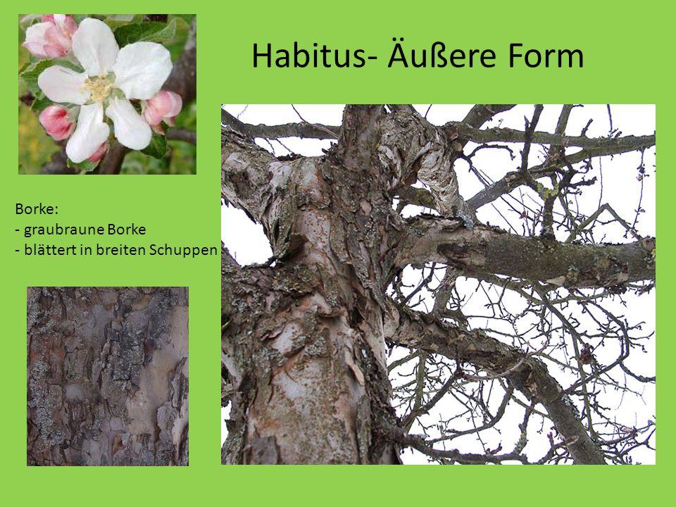 Habitus- Äußere Form Er wird nur etwa 10 Meter hoch. Borke: - graubraune Borke - blättert in breiten Schuppen ab.