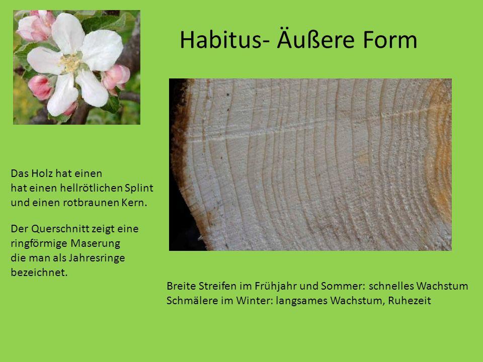 Habitus- Äußere Form Er wird nur etwa 10 Meter hoch. Das Holz hat einen hat einen hellrötlichen Splint und einen rotbraunen Kern. Der Querschnitt zeig