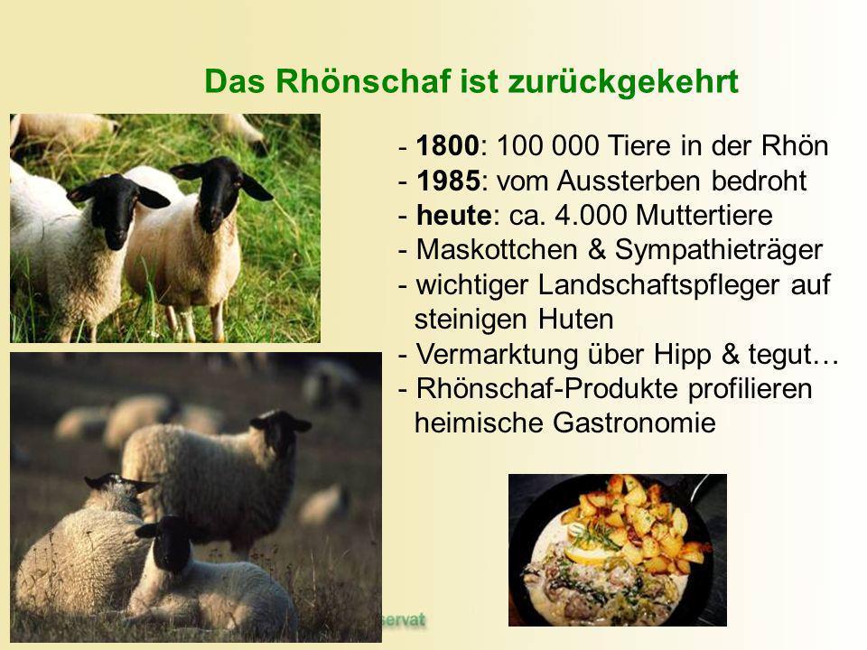 Das Rhönschaf ist zurückgekehrt - - 1800: 100 000 Tiere in der Rhön - - 1985: vom Aussterben bedroht - - heute: ca. 4.000 Muttertiere - - Maskottchen