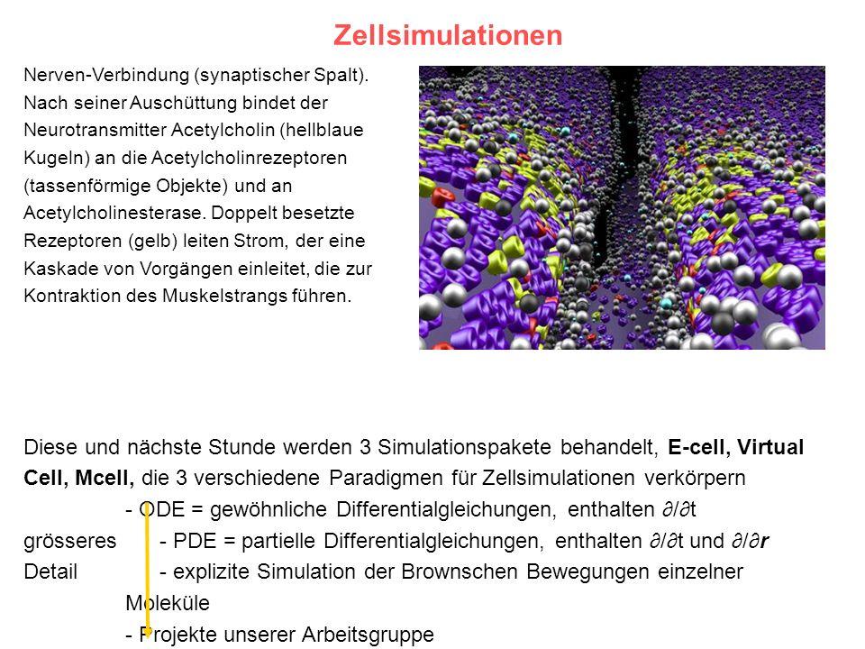 Zellsimulationen Nerven-Verbindung (synaptischer Spalt). Nach seiner Auschüttung bindet der Neurotransmitter Acetylcholin (hellblaue Kugeln) an die Ac