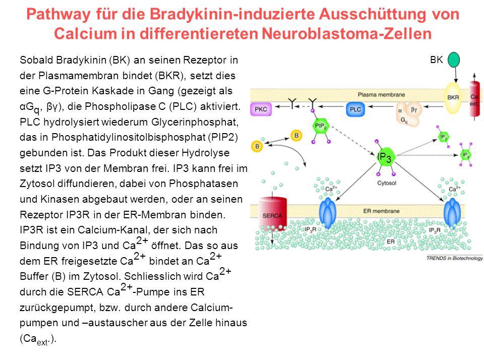 Pathway für die Bradykinin-induzierte Ausschüttung von Calcium in differentiereten Neuroblastoma-Zellen Sobald Bradykinin (BK) an seinen Rezeptor in d