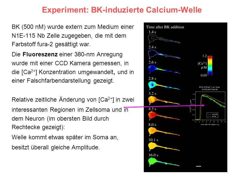 Experiment: BK-induzierte Calcium-Welle BK (500 nM) wurde extern zum Medium einer N1E-115 Nb Zelle zugegeben, die mit dem Farbstoff fura-2 gesättigt w