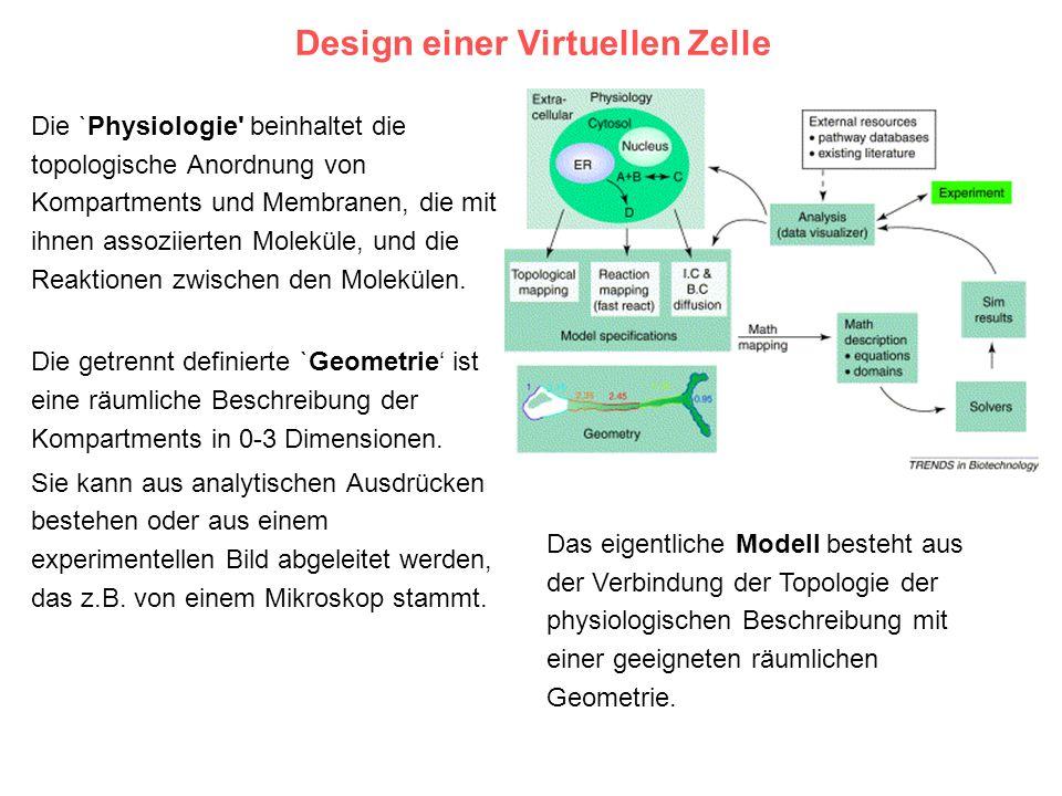 Design einer Virtuellen Zelle Die `Physiologie' beinhaltet die topologische Anordnung von Kompartments und Membranen, die mit ihnen assoziierten Molek