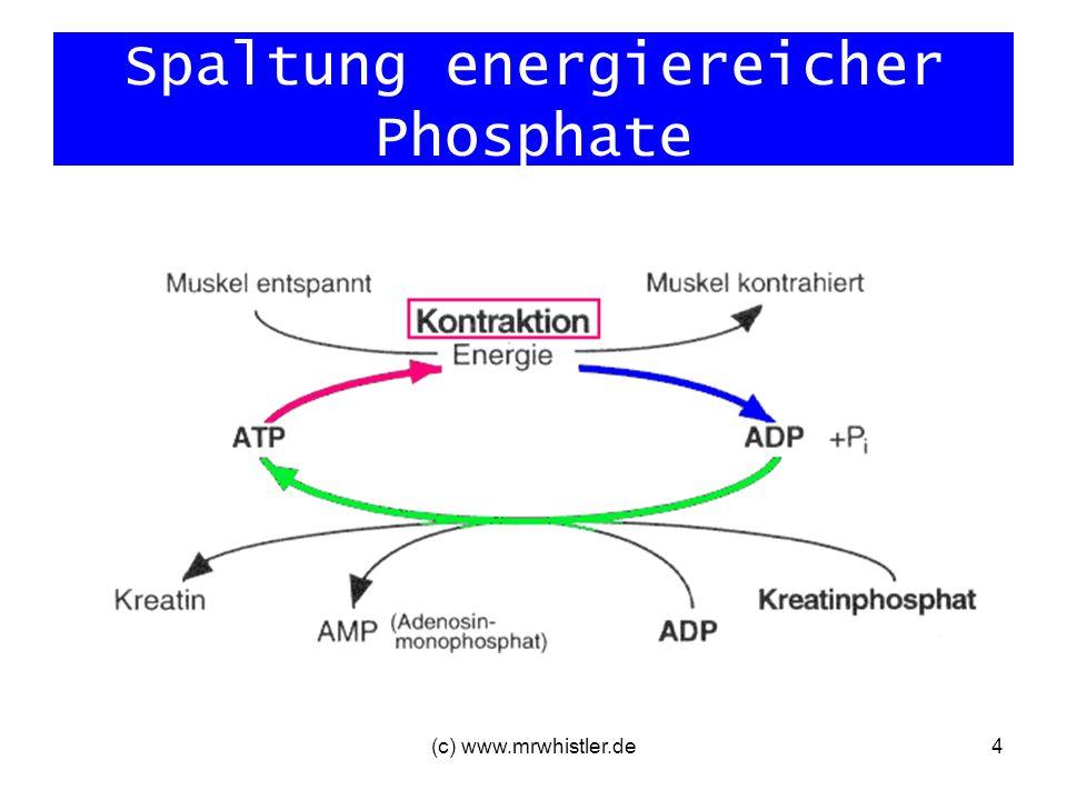 (c) www.mrwhistler.de5 Spaltung energiereicher Phosphate Problem: kleiner Vorrat an KP, der schon nach 4-6 Sekunden verbraucht ist wenige Sprünge/kurze Belastungen PAUSE KP Nachbildung in 1-2 Minuten längere Belastungen keine Pause möglich Abbau von Nährstoffen