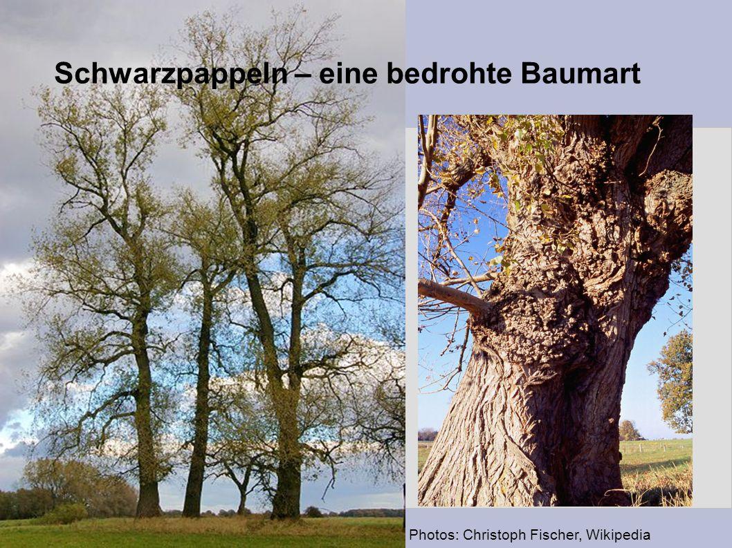 Photos: Christoph Fischer, Wikipedia Schwarzpappeln – eine bedrohte Baumart