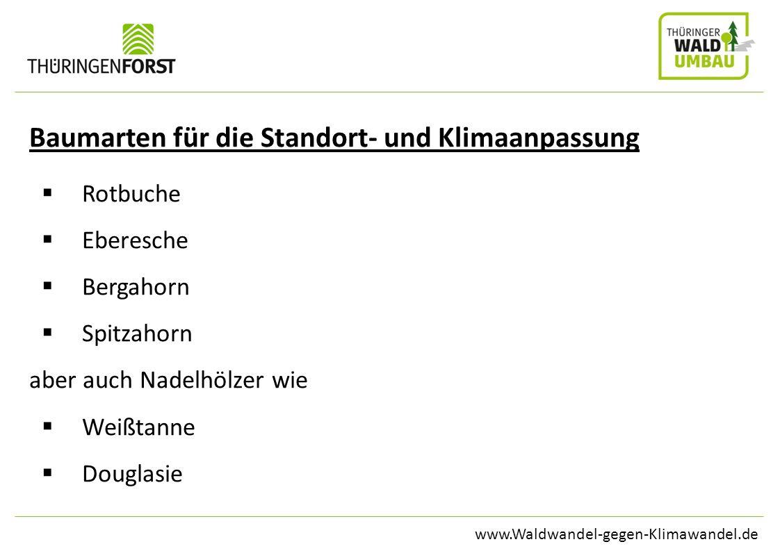 www.Waldwandel-gegen-Klimawandel.de Baumarten für die Standort- und Klimaanpassung Rotbuche Eberesche Bergahorn Spitzahorn aber auch Nadelhölzer wie W