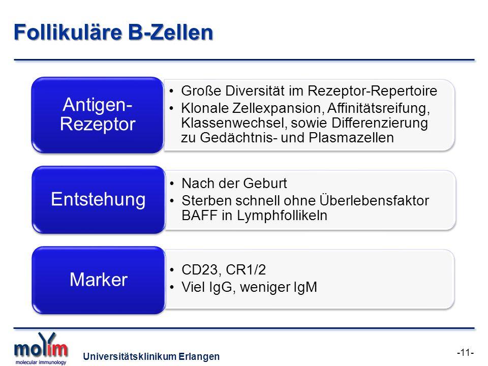 Universitätsklinikum Erlangen Follikuläre B-Zellen Große Diversität im Rezeptor-Repertoire Klonale Zellexpansion, Affinitätsreifung, Klassenwechsel, s