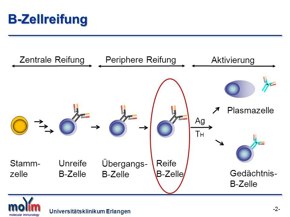 Universitätsklinikum Erlangen B-Zellreifung -2- Zentrale Reifung Stamm- zelle Periphere Reifung Aktivierung Unreife B-Zelle Übergangs- B-Zelle Ag THTH