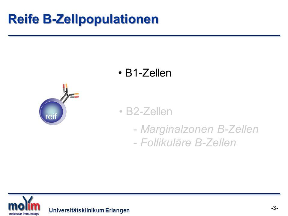 Universitätsklinikum Erlangen Reife B-Zellpopulationen reif B1-Zellen B2-Zellen - Marginalzonen B-Zellen - Follikuläre B-Zellen -3-