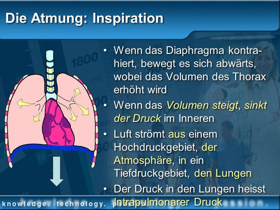 Die Atmung: Inspiration Wenn das Diaphragma kontra- hiert, bewegt es sich abwärts, wobei das Volumen des Thorax erhöht wird Wenn das Volumen steigt, s