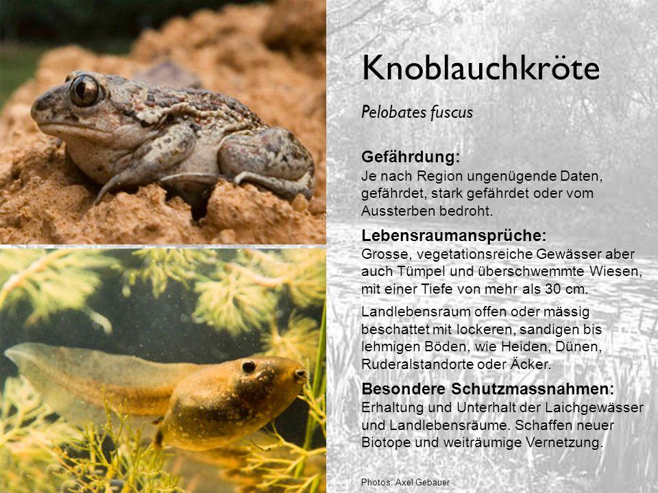 Knoblauchkröte Gefährdung: Je nach Region ungenügende Daten, gefährdet, stark gefährdet oder vom Aussterben bedroht. Lebensraumansprüche: Grosse, vege