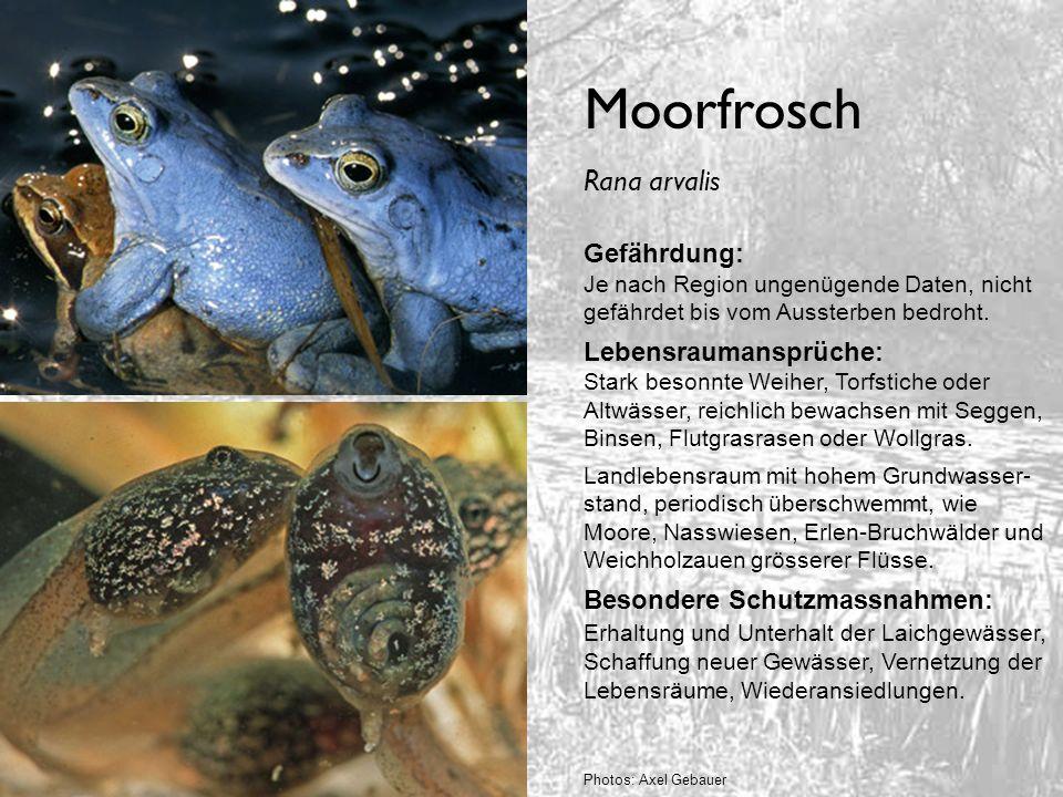 Moorfrosch Gefährdung: Je nach Region ungenügende Daten, nicht gefährdet bis vom Aussterben bedroht. Lebensraumansprüche: Stark besonnte Weiher, Torfs