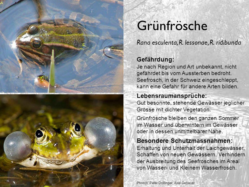 Grünfrösche Gefährdung: Je nach Region und Art unbekannt, nicht gefährdet bis vom Aussterben bedroht. Seefrosch, in der Schweiz eingeschleppt, kann ei