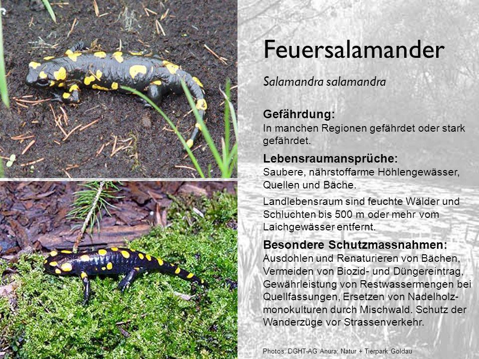Feuersalamander Gefährdung: In manchen Regionen gefährdet oder stark gefährdet. Lebensraumansprüche: Saubere, nährstoffarme Höhlengewässer, Quellen un