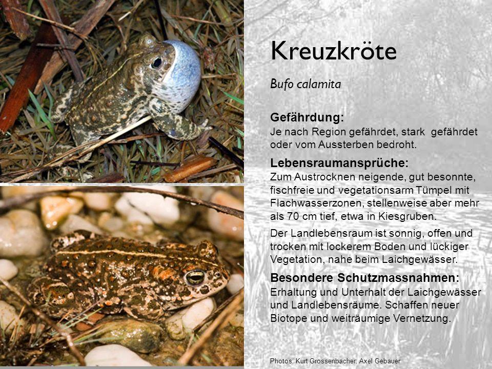 Kreuzkröte Gefährdung: Je nach Region gefährdet, stark gefährdet oder vom Aussterben bedroht. Lebensraumansprüche: Zum Austrocknen neigende, gut beson