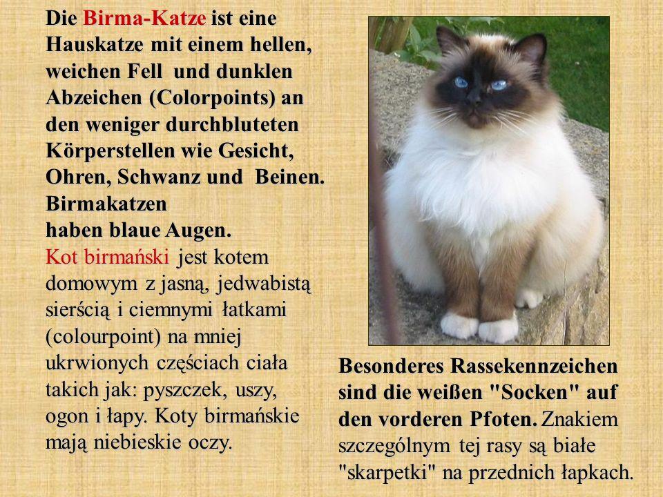 Die Birma-Katze ist eine Hauskatze mit einem hellen, weichen Fell und dunklen Abzeichen (Colorpoints) an den weniger durchbluteten Körperstellen wie Gesicht, Ohren, Schwanz und Beinen.