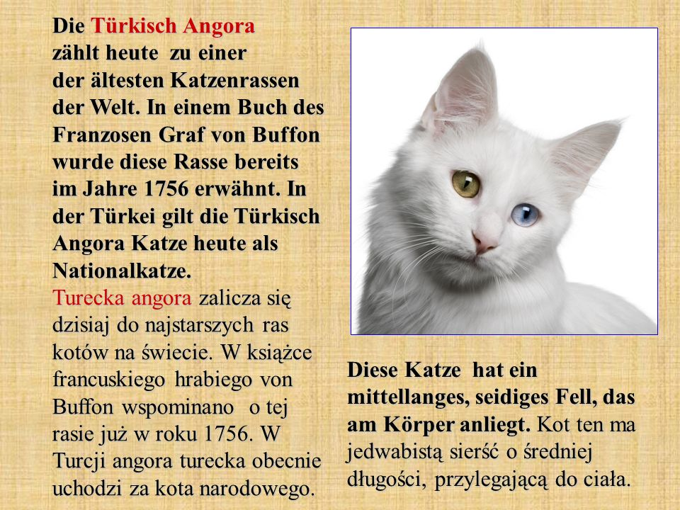 Die Türkisch Angora zählt heute zu einer der ältesten Katzenrassen der Welt. In einem Buch des Franzosen Graf von Buffon wurde diese Rasse bereits im