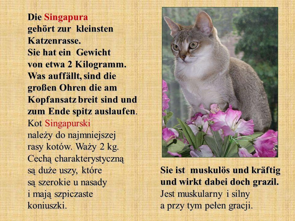 Die Singapura gehört zur kleinsten Katzenrasse. Sie hat ein Gewicht von etwa 2 Kilogramm. Was auffällt, sind die großen Ohren die am Kopfansatz breit