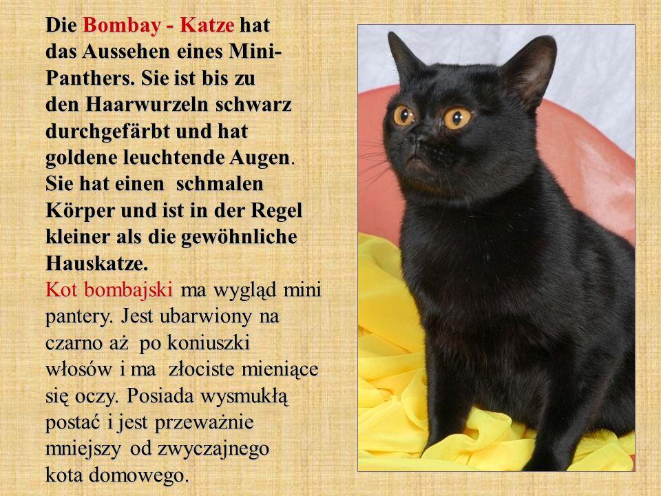 Die Bombay - Katze hat das Aussehen eines Mini- Panthers. Sie ist bis zu den Haarwurzeln schwarz durchgefärbt und hat goldene leuchtende Augen. Sie ha