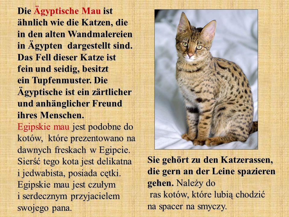 Die Ägyptische Mau ist ähnlich wie die Katzen, die in den alten Wandmalereien in Ägypten dargestellt sind. Das Fell dieser Katze ist fein und seidig,
