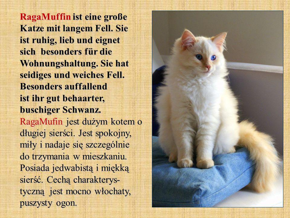 RagaMuffin ist eine große Katze mit langem Fell. Sie ist ruhig, lieb und eignet sich besonders für die Wohnungshaltung. Sie hat seidiges und weiches F
