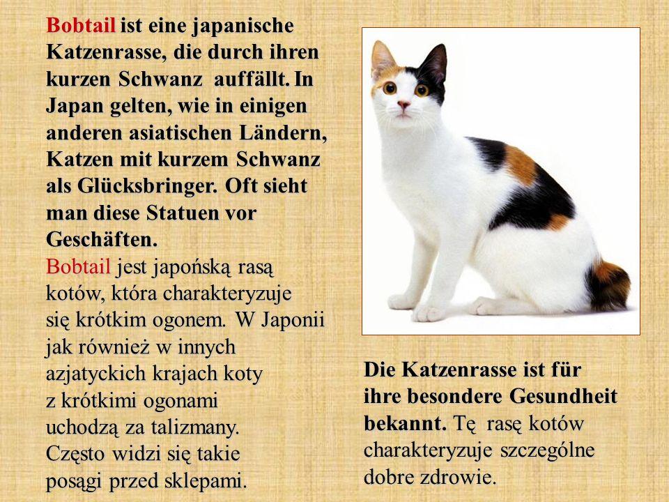 Bobtail ist eine japanische Katzenrasse, die durch ihren kurzen Schwanz auffällt.