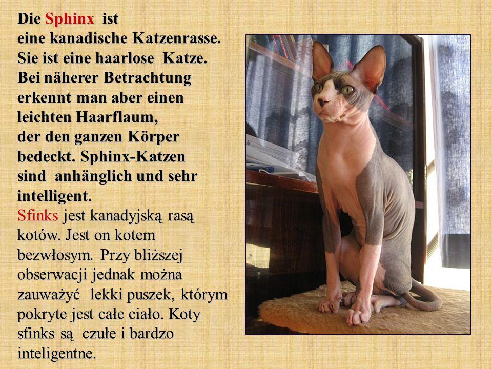 Die Sphinx ist eine kanadische Katzenrasse. Sie ist eine haarlose Katze. Bei näherer Betrachtung erkennt man aber einen leichten Haarflaum, der den ga