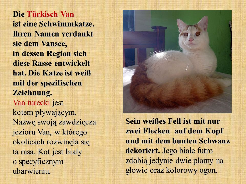 Die Türkisch Van ist eine Schwimmkatze. Ihren Namen verdankt sie dem Vansee, in dessen Region sich diese Rasse entwickelt hat. Die Katze ist weiß mit