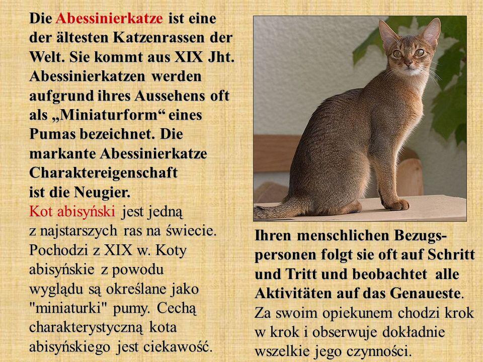 Die Abessinierkatze ist eine der ältesten Katzenrassen der Welt. Sie kommt aus XIX Jht. Abessinierkatzen werden aufgrund ihres Aussehens oft als Minia