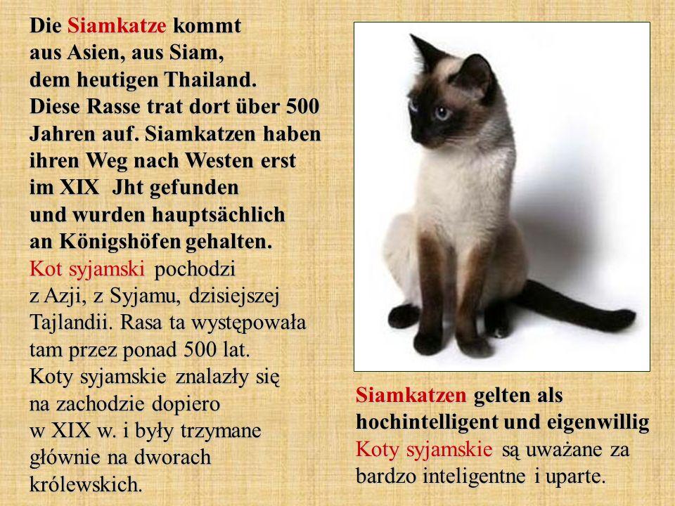 Die Siamkatze kommt aus Asien, aus Siam, dem heutigen Thailand. Diese Rasse trat dort über 500 Jahren auf. Siamkatzen haben ihren Weg nach Westen erst