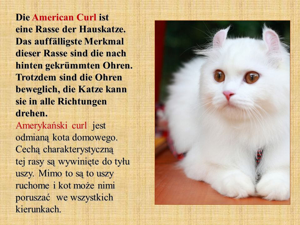 Die American Curl ist eine Rasse der Hauskatze. Das auffälligste Merkmal dieser Rasse sind die nach hinten gekrümmten Ohren. Trotzdem sind die Ohren b