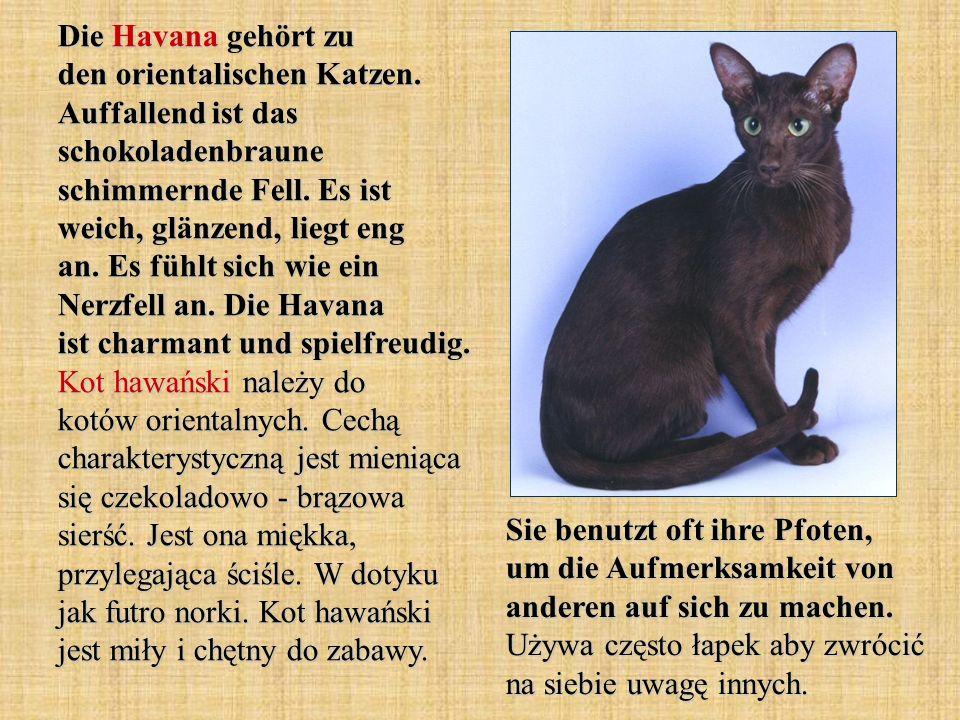 Die Havana gehört zu den orientalischen Katzen. Auffallend ist das schokoladenbraune schimmernde Fell. Es ist weich, glänzend, liegt eng an. Es fühlt