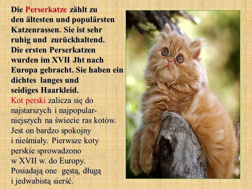Die Perserkatze zählt zu den ältesten und populärsten Katzenrassen. Sie ist sehr ruhig und zurückhaltend. Die ersten Perserkatzen wurden im XVII Jht n