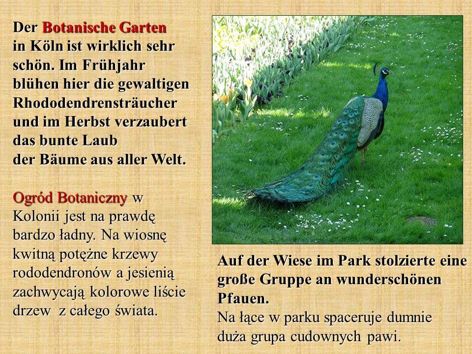 Auf der Wiese im Park stolzierte eine große Gruppe an wunderschönen Pfauen. Na łące w parku spaceruje dumnie duża grupa cudownych pawi. Der Botanische