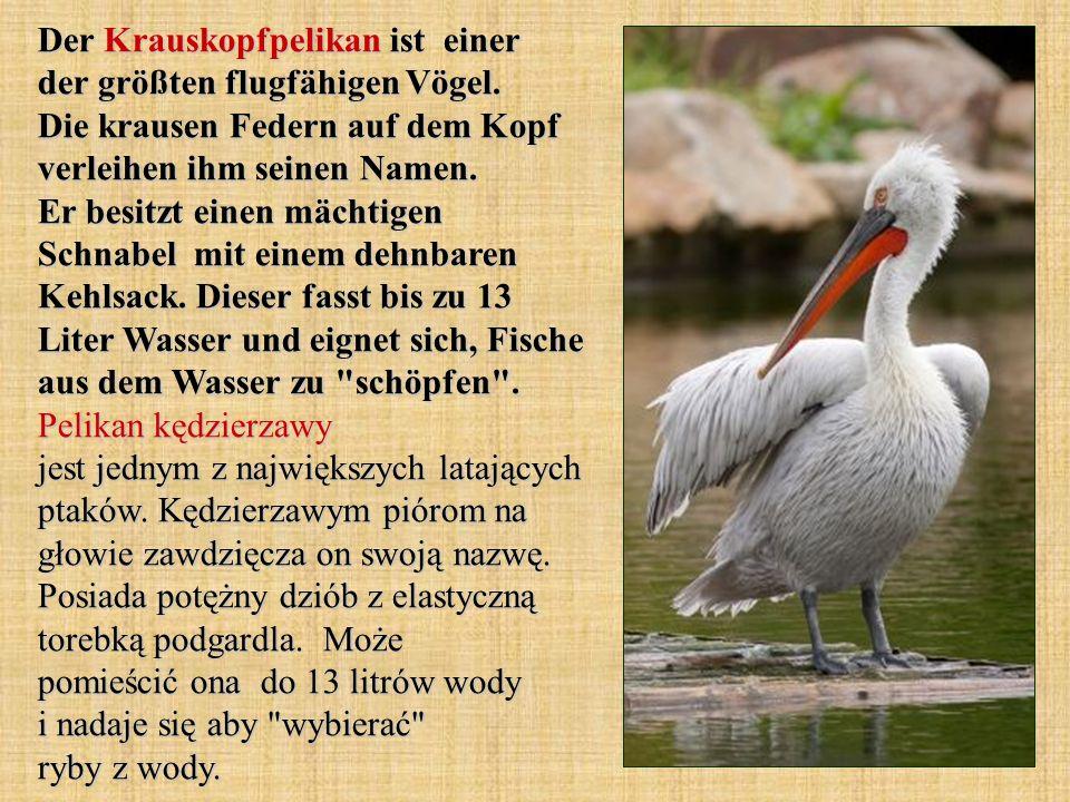 Der Krauskopfpelikan ist einer der größten flugfähigen Vögel.