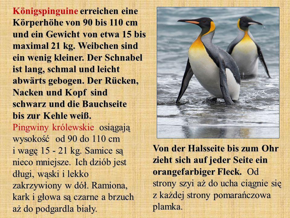 Königspinguine erreichen eine Körperhöhe von 90 bis 110 cm und ein Gewicht von etwa 15 bis maximal 21 kg.