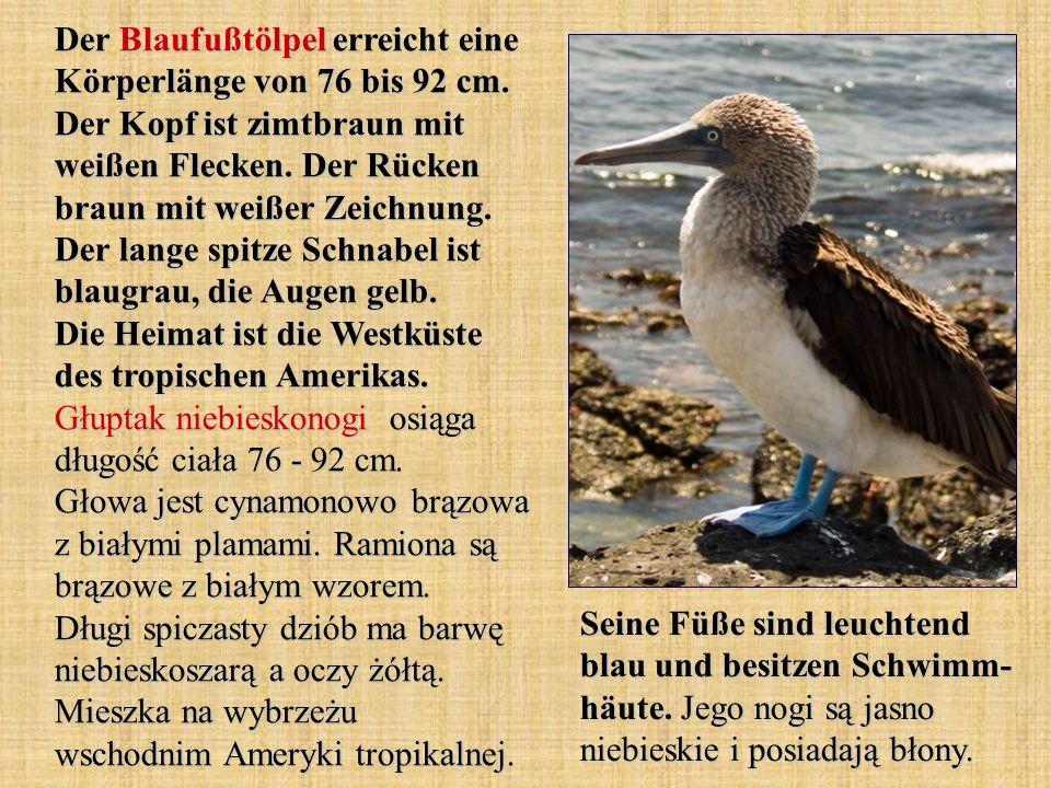 Der Blaufußtölpel erreicht eine Körperlänge von 76 bis 92 cm.
