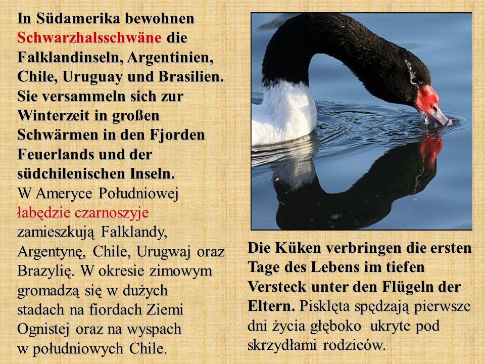In Südamerika bewohnen Schwarzhalsschwäne die Falklandinseln, Argentinien, Chile, Uruguay und Brasilien.