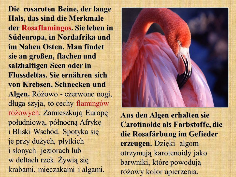 Die rosaroten Beine, der lange Hals, das sind die Merkmale der Rosaflamingos.