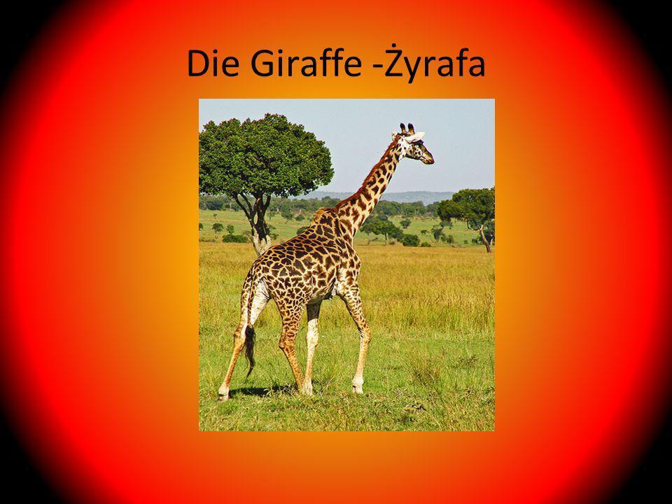 Die Giraffe -Żyrafa