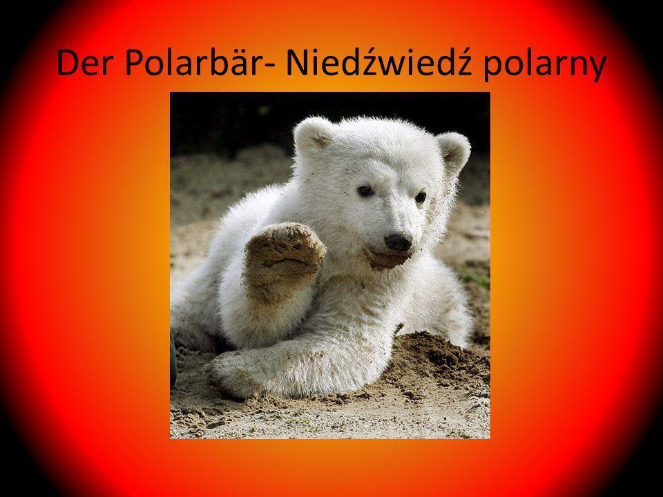 Der Polarbär- Niedźwiedź polarny